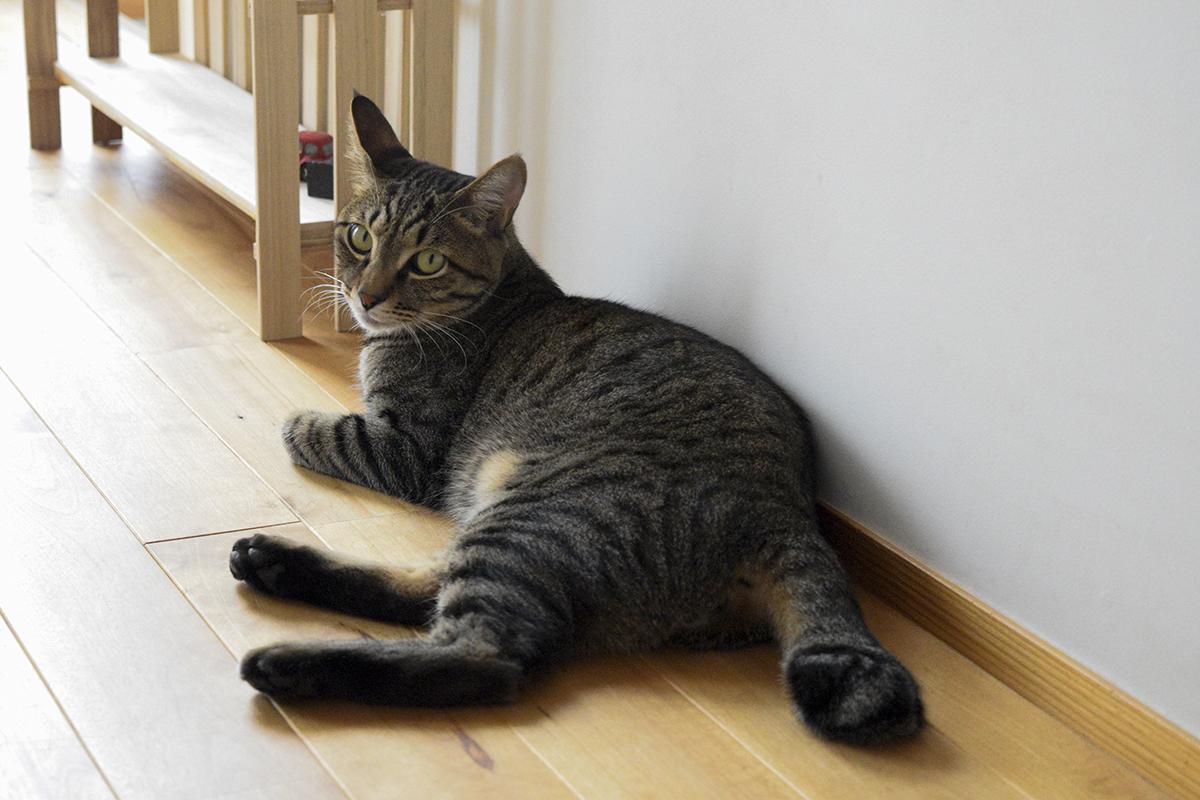 廊下でくつろぐキジトラ猫の虎ノ介