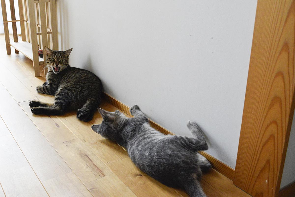 サバトラ猫の春太に怒るキジトラ猫の虎ノ介