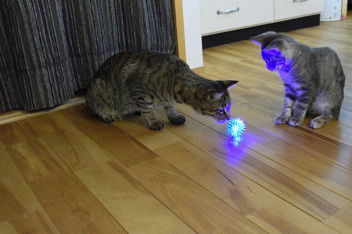 光るボールに注目するキジトラ猫の虎ノ介とサバトラ猫の春太