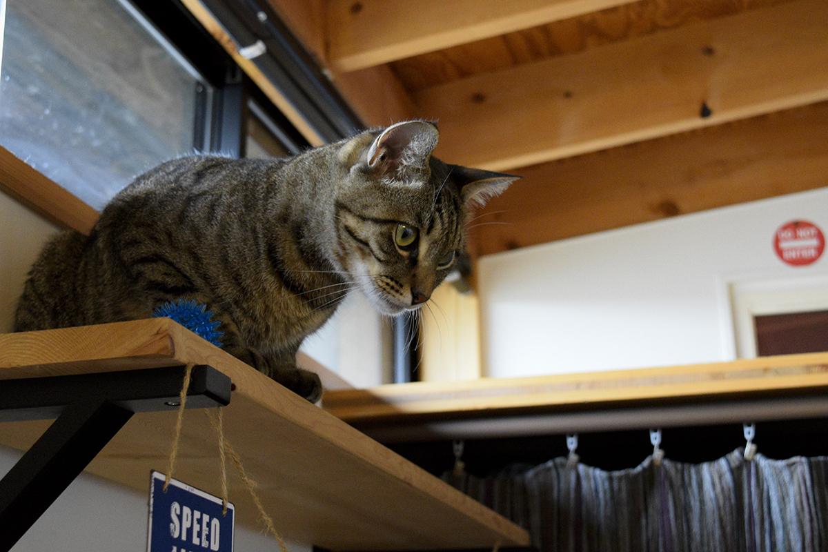 ボールをキャットワターから落とすキジトラ猫の虎ノ介