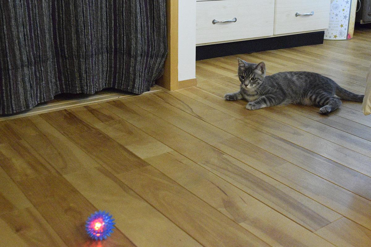床の上でボールを待つサバトラ猫の春太