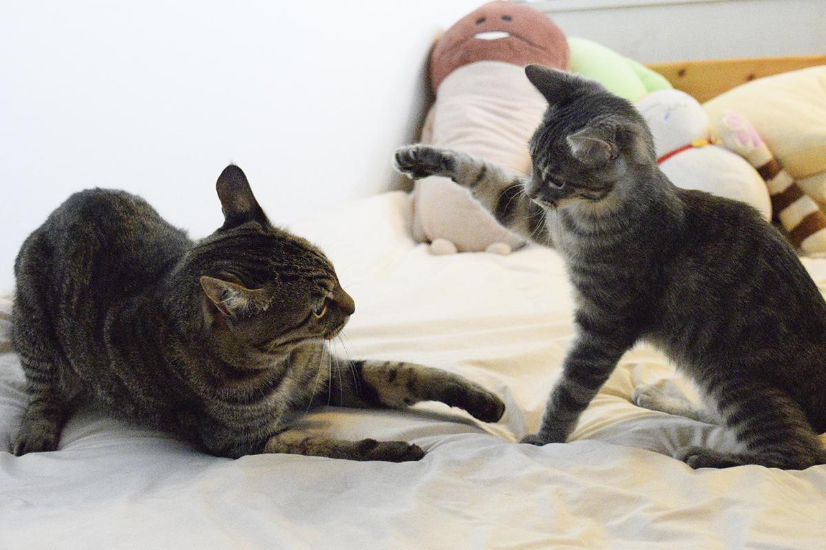 ベッドの上でじゃれるキジトラ猫の虎ノ介とサバトラ猫の春太