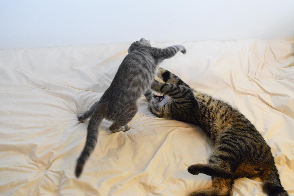 ベッドの上でじゃれあうキジトラ猫の虎ノ介とサバトラ猫の春太
