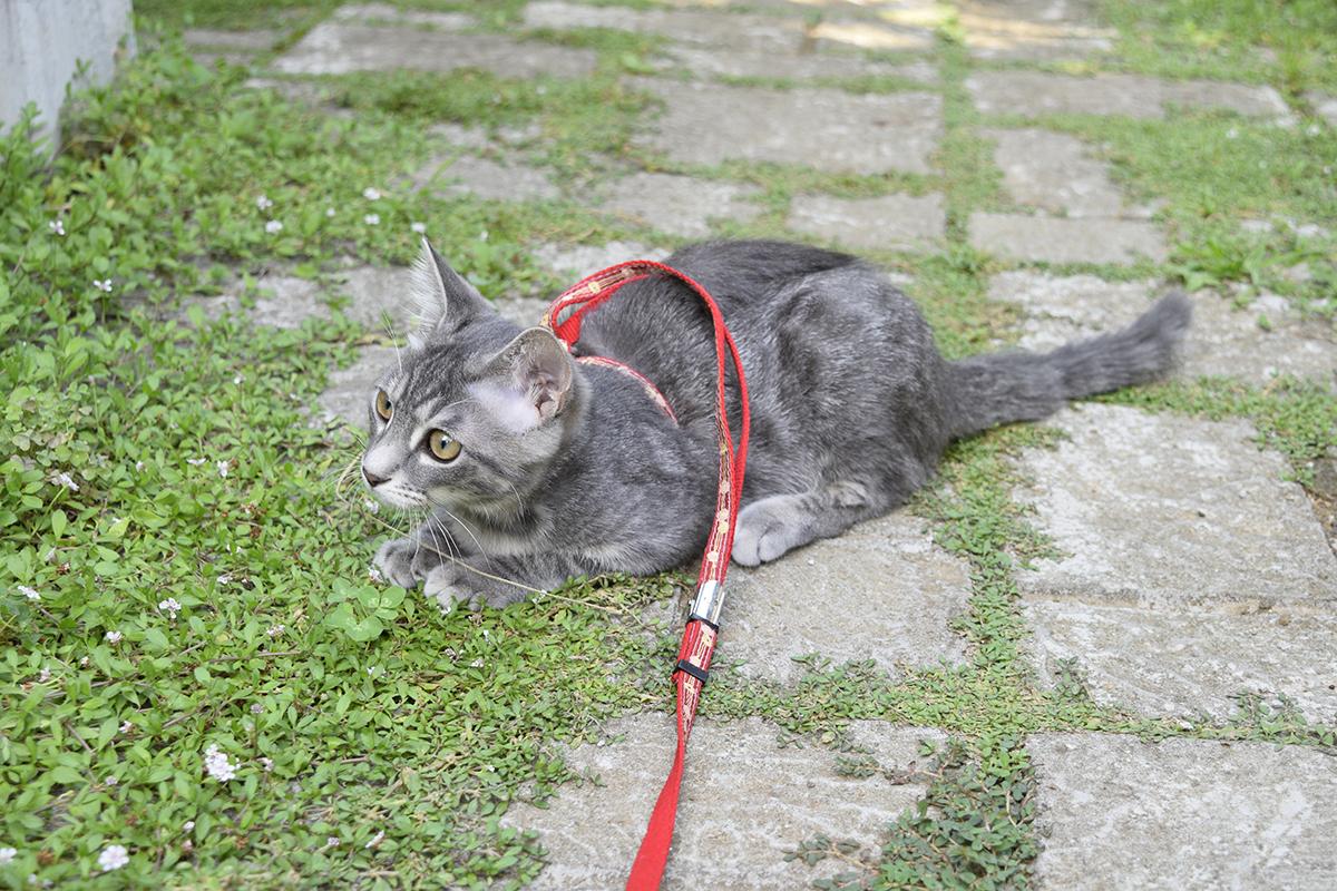 キジトラ猫の虎ノ介を眺めるサバトラ猫の春太