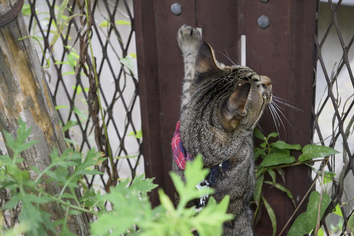 セミをのぞき込むキジトラ猫の虎ノ介