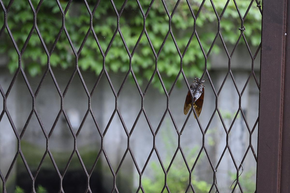 フェンスの裏側にいるセミ