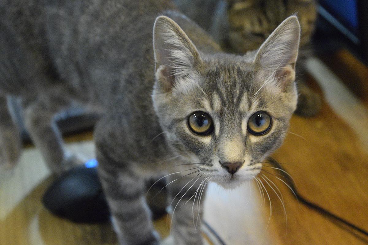 スゴーンを見つめるサバトラ猫の春太