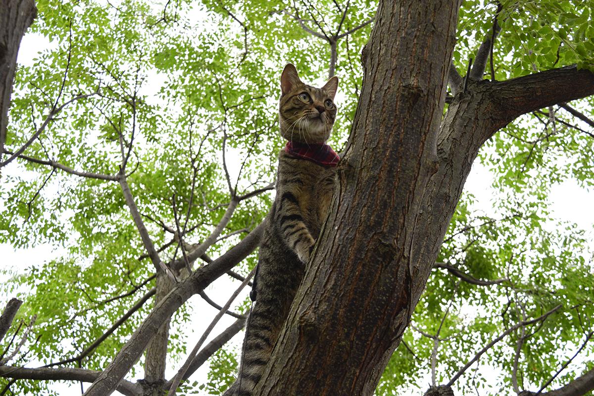 犬を発見して木に登ったキジトラ猫の虎ノ介