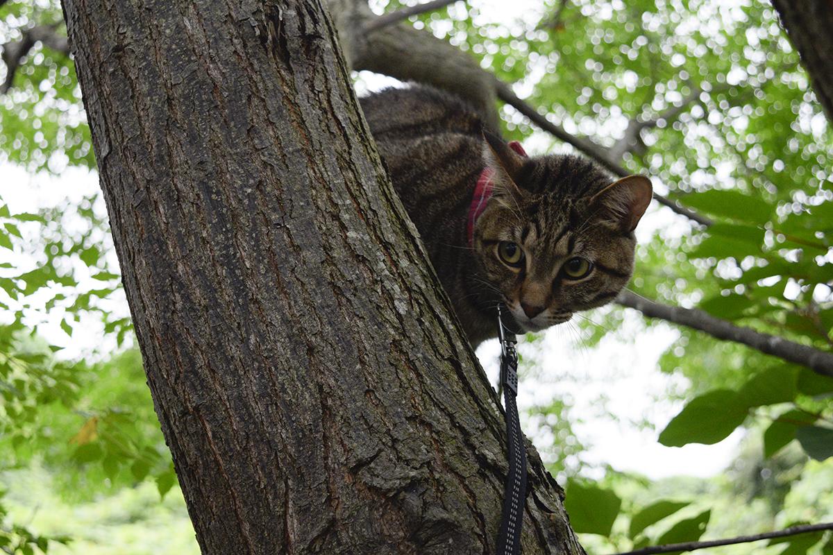 小学生を発見しておびえるキジトラ猫の虎ノ介