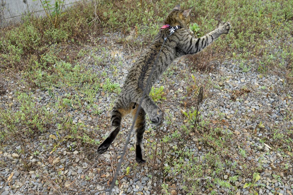 空き地ではしゃぐキジトラ猫の虎ノ介