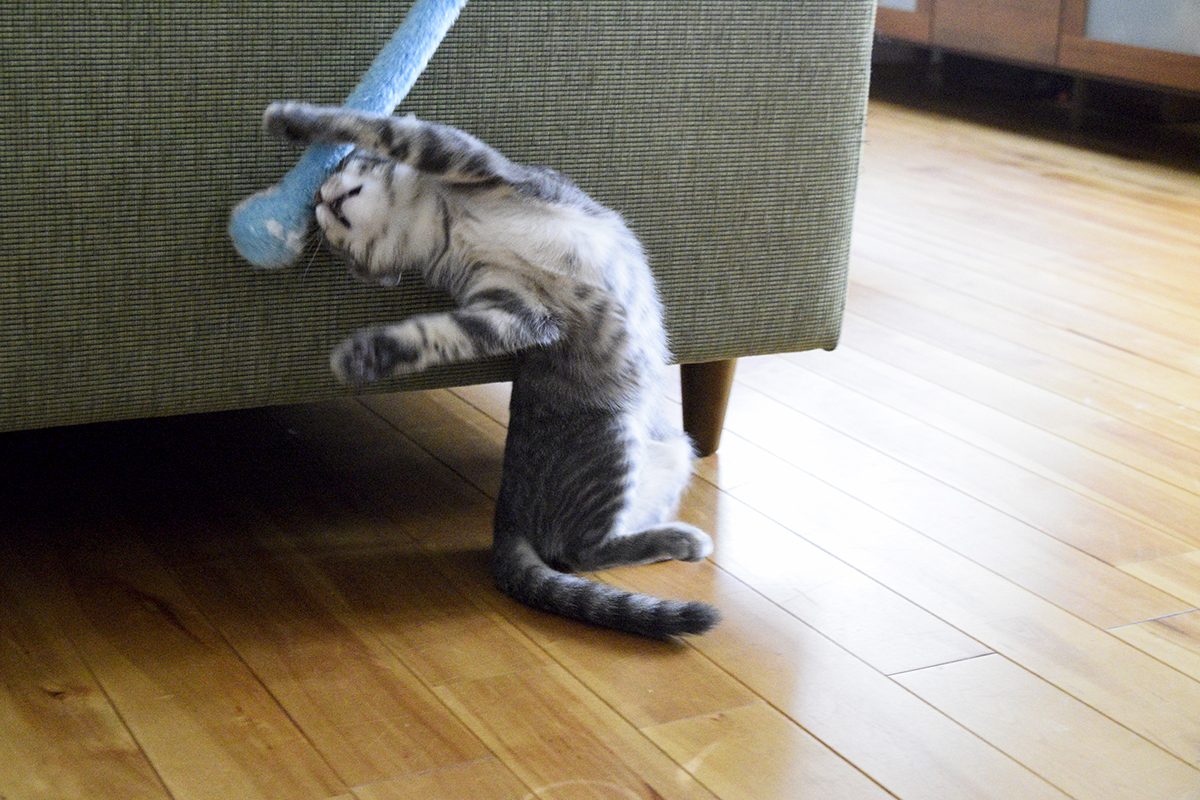 部屋ではしゃぐサバトラ猫の春太