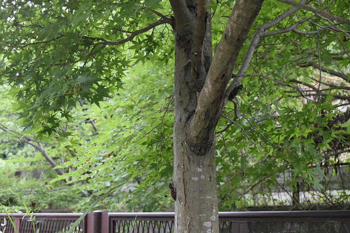 セミがたくさん止まっている木