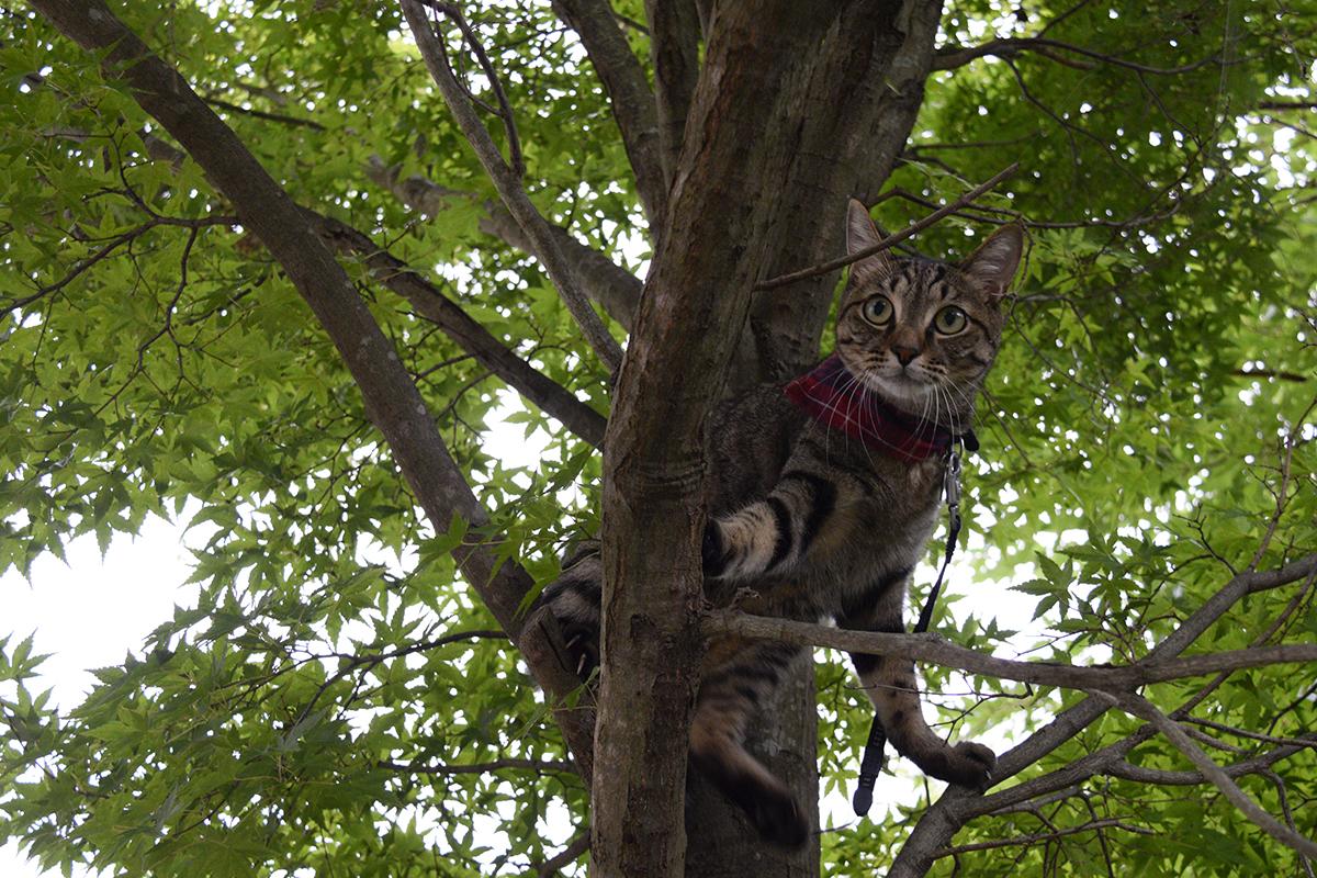 木の枝にのせてもらったキジトラ猫の虎ノ介