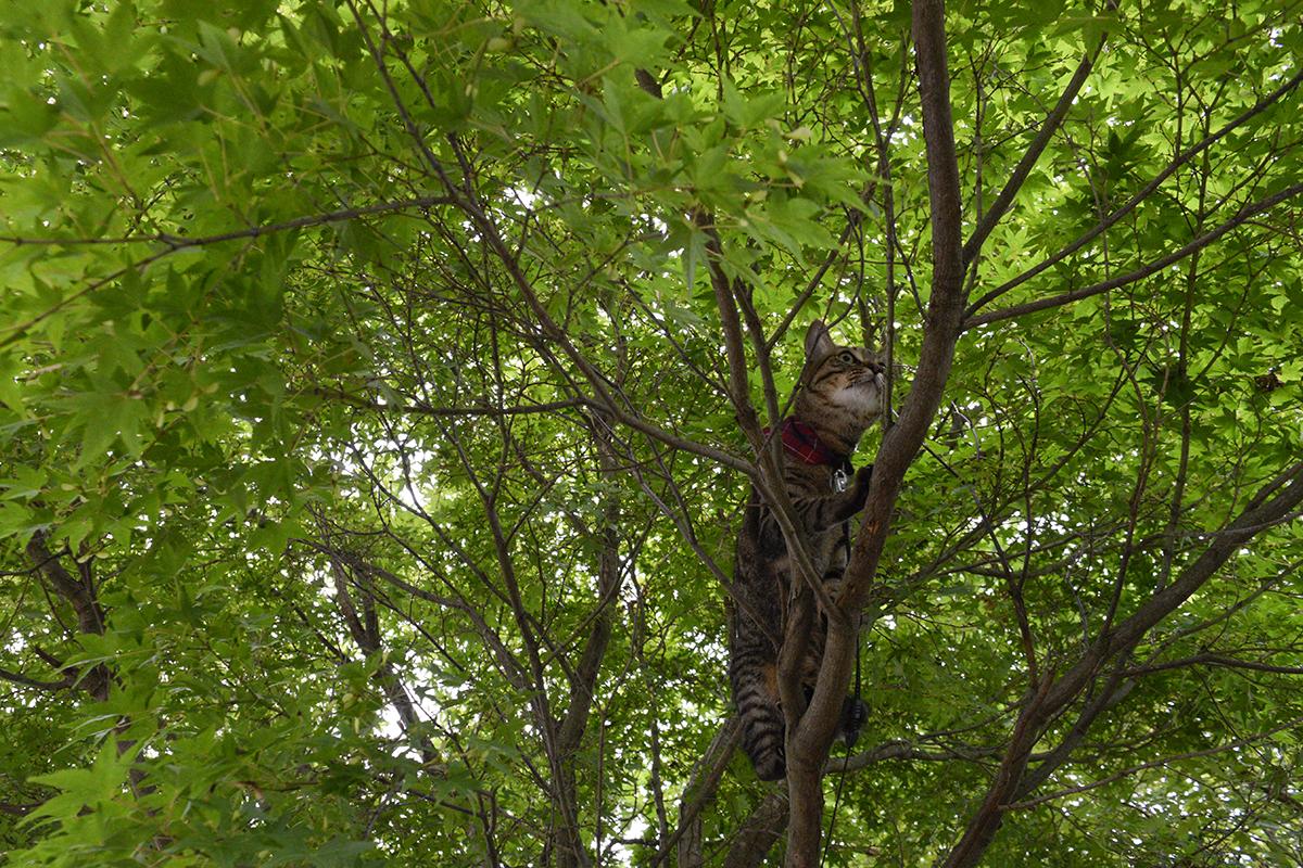 セミを捕まえようと木に登る虎ノ介