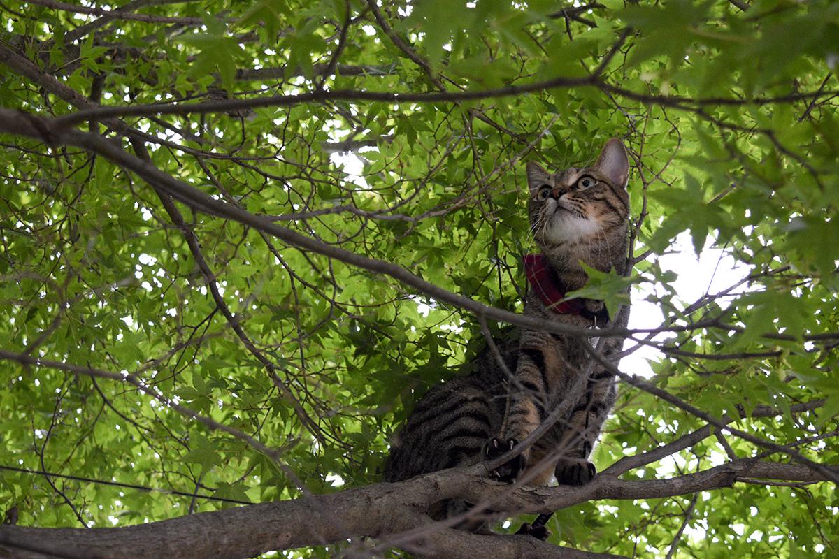 リードがからまって動けなくなったキジトラ猫の虎ノ介