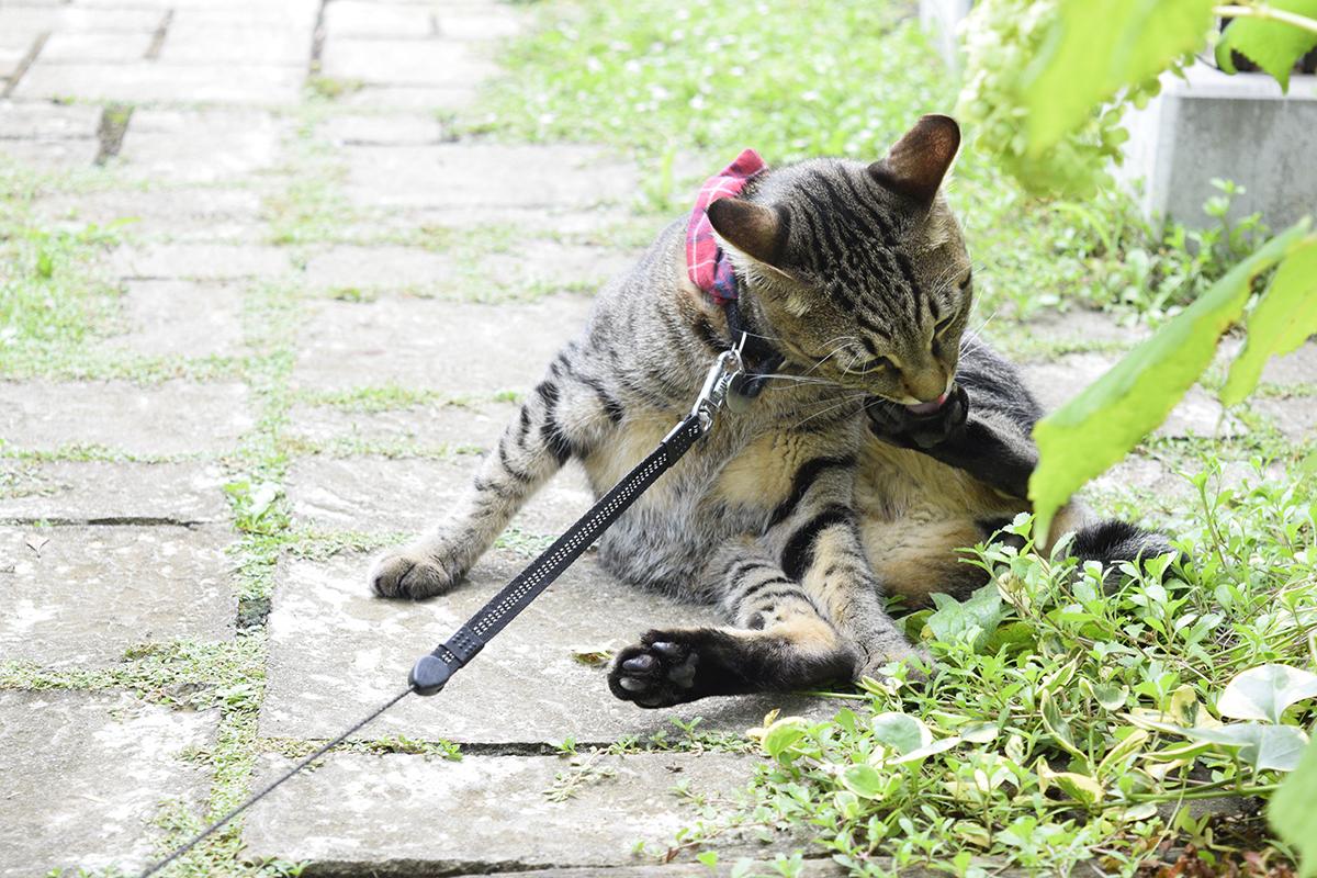 外で毛づくろいに精を出すキジトラ猫の虎ノ介