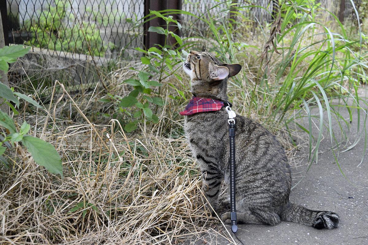 セミに向かってなくキジトラ猫の虎ノ介