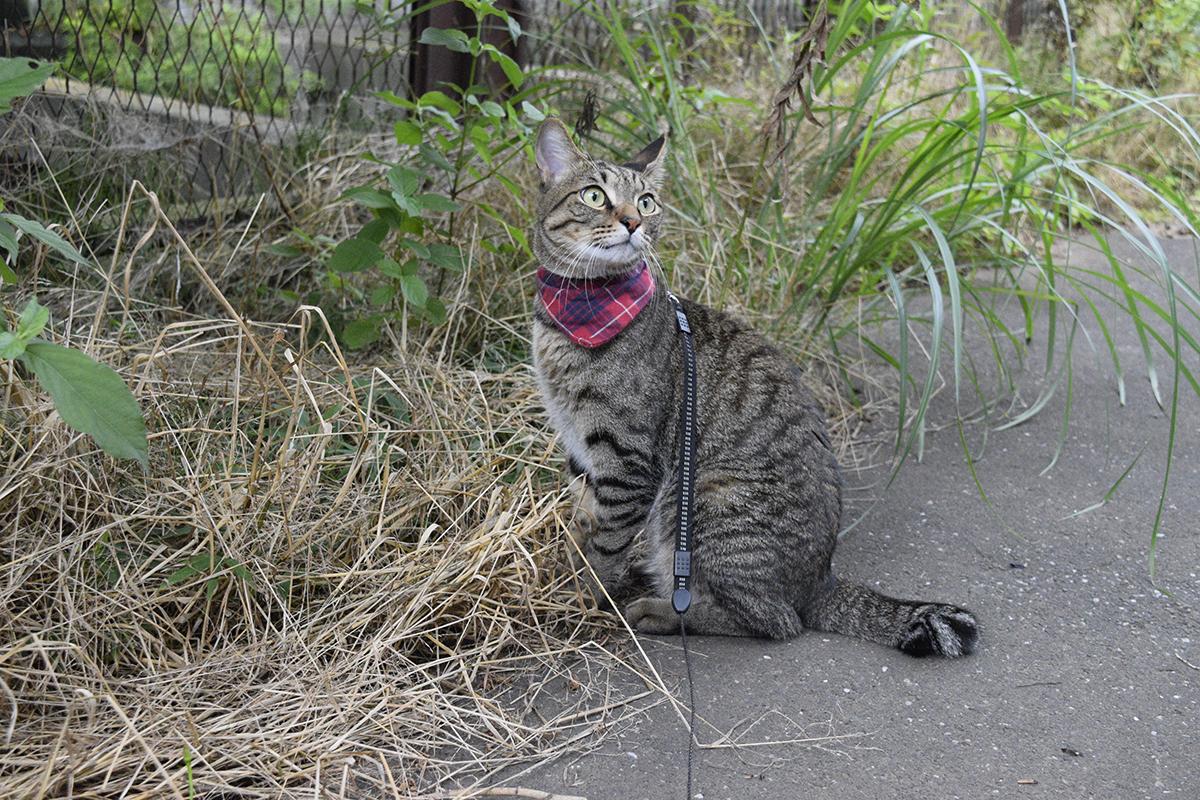 セミを見上げるキジトラ猫の虎ノ介