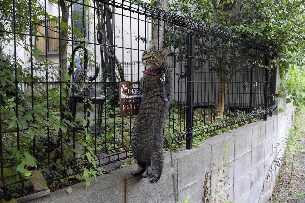 セミをおいかけてよその家のフェンスにしがみつくキジトラ猫の虎ノ介