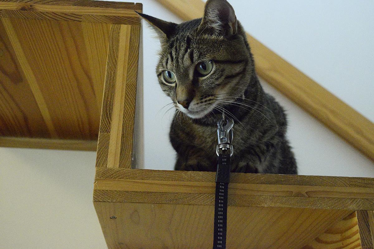 階段から外を眺めるキジトラ猫の虎ノ介