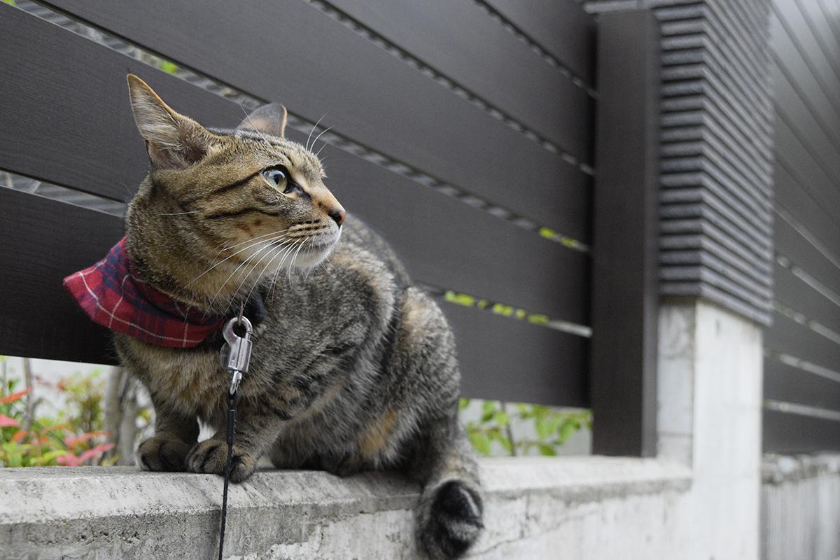 散歩にでるキジトラ猫の虎ノ介