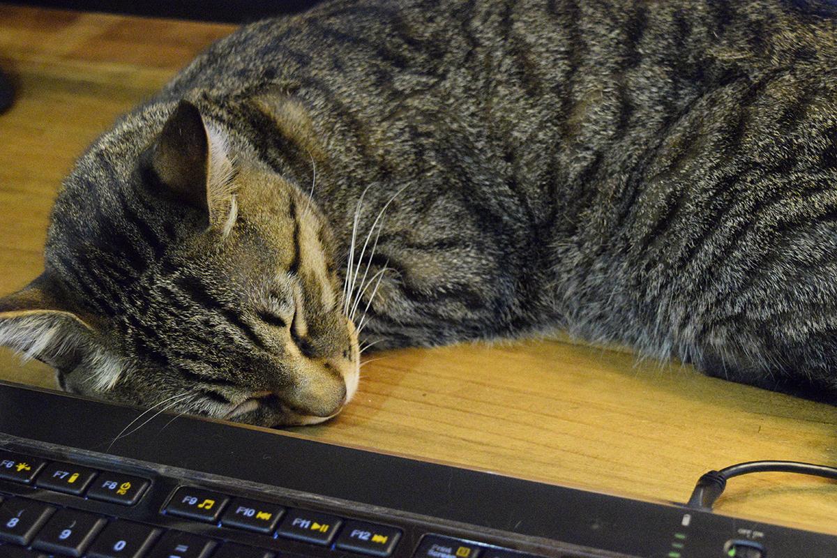 昼寝をするキジトラ猫の虎ノ介