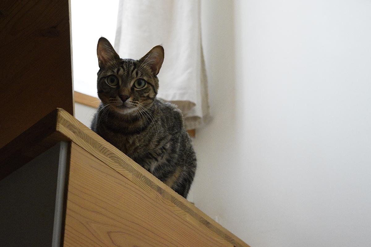 お外にでたいキジトラ猫の虎ノ介
