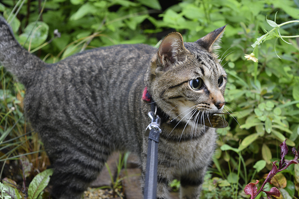 セミを咥えて庭にもってきたキジトラ猫の虎ノ介