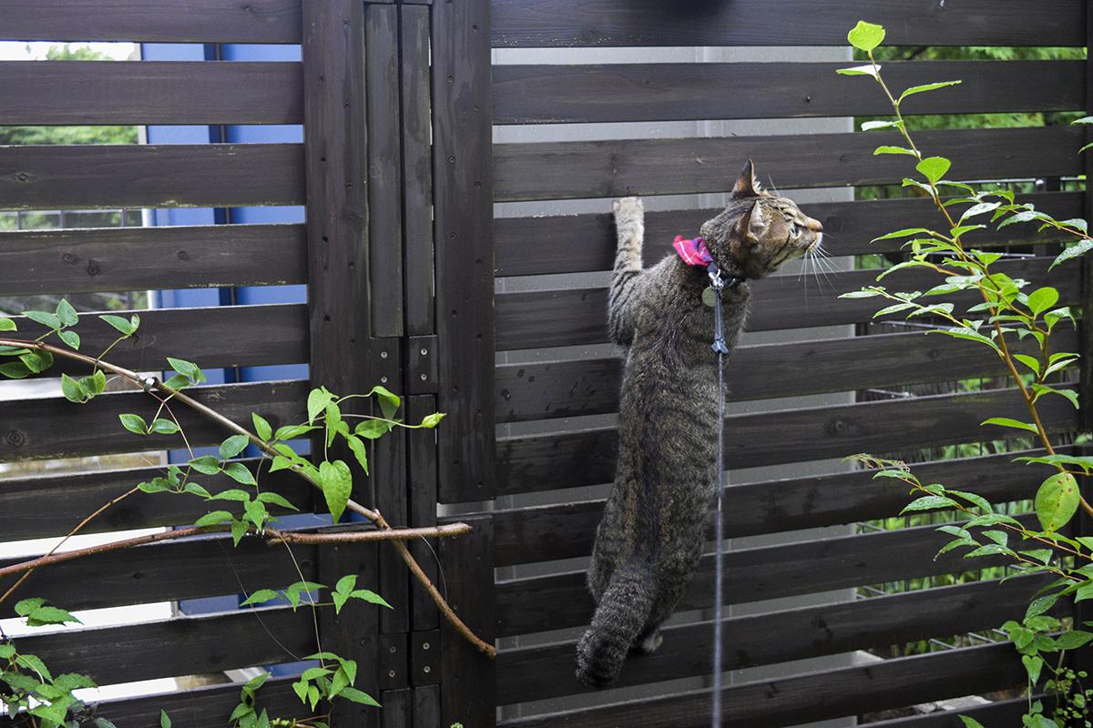 セミに逃げられ阿多キジトラ猫の虎ノ介