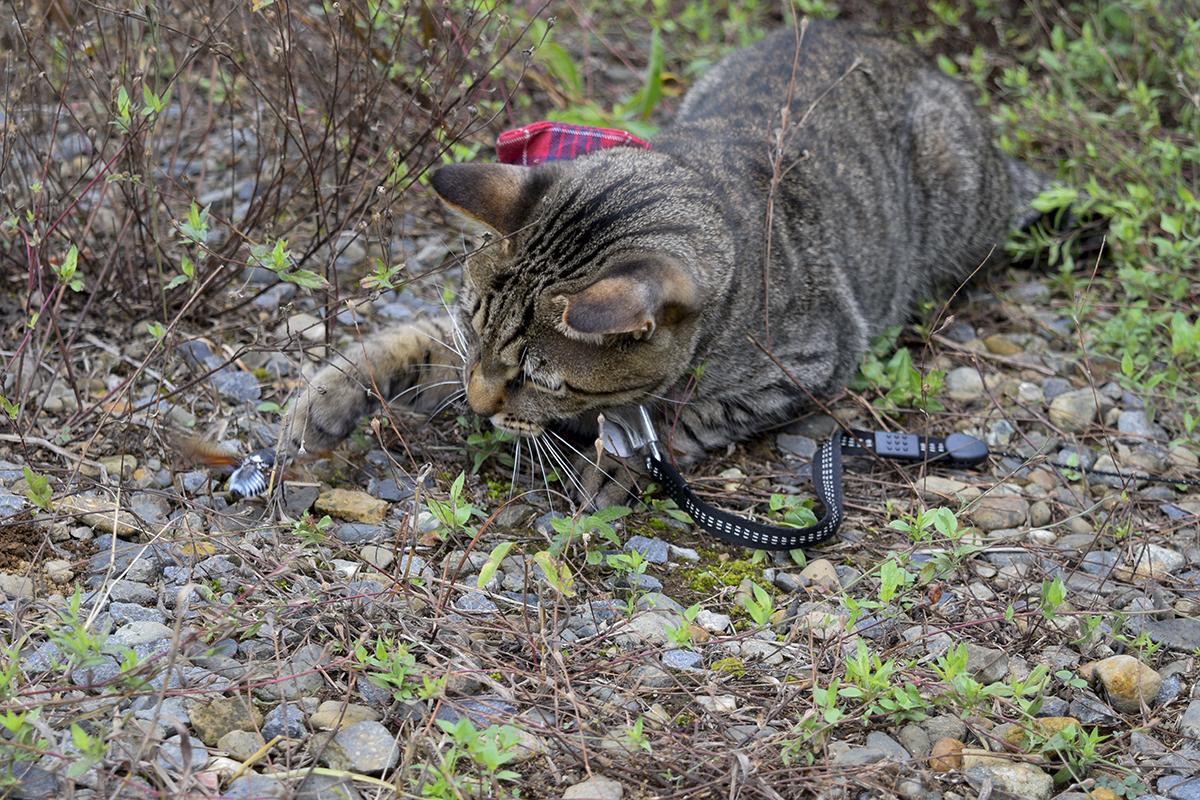 お外でセミを取るキジトラ猫の虎ノ介