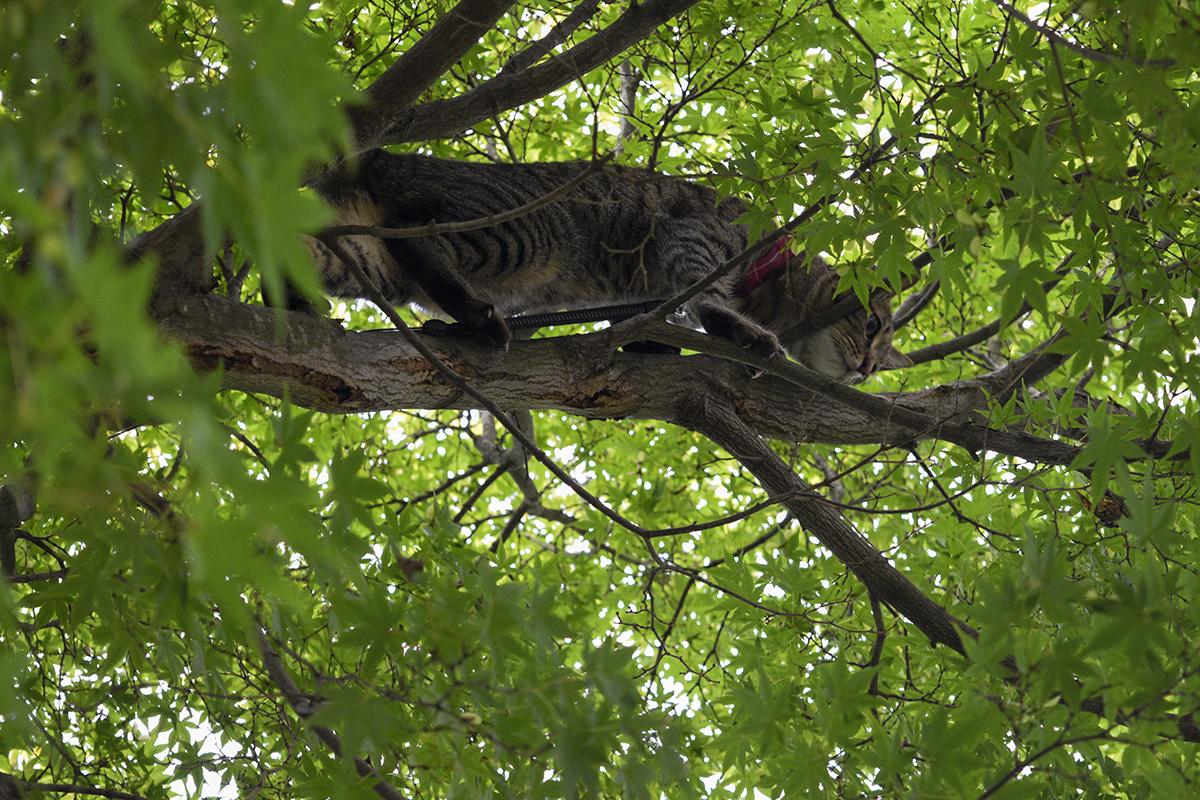 セミをおいかけて木登りをするキジトラ猫の虎ノ介
