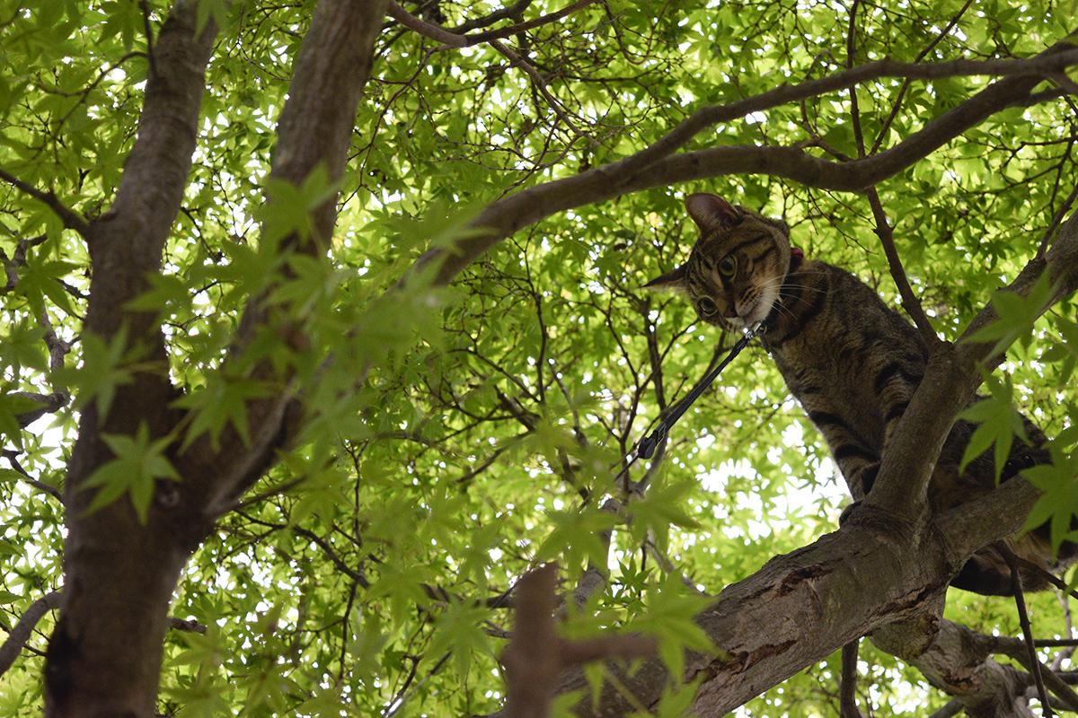 木の上から地面を見つめるキジトラ猫の虎ノ介