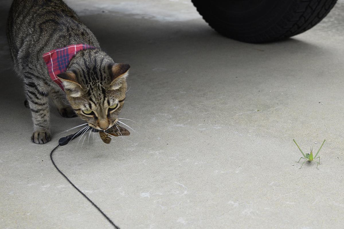 バッタの横にセミをもってきたキジトラ猫の虎ノ介