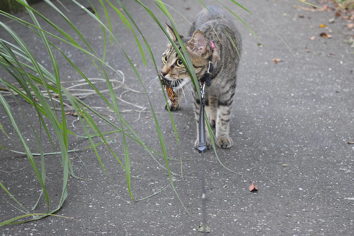 セミを咥えて戻る途中に新たにセミを発見したキジトラ猫の虎ノ介
