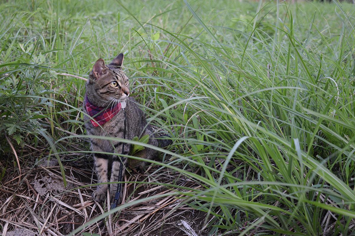 空き地で景色を眺めるキジトラ猫の虎ノ介