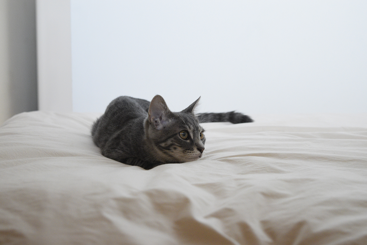 キジトラ猫の虎ノ介をみつめるサバトラ猫の春太