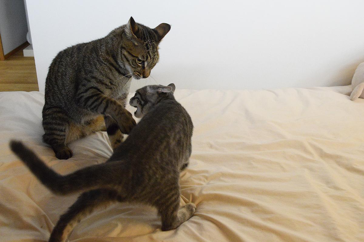 キジトラ猫の虎ノ介に絡むサバトラ猫の春太