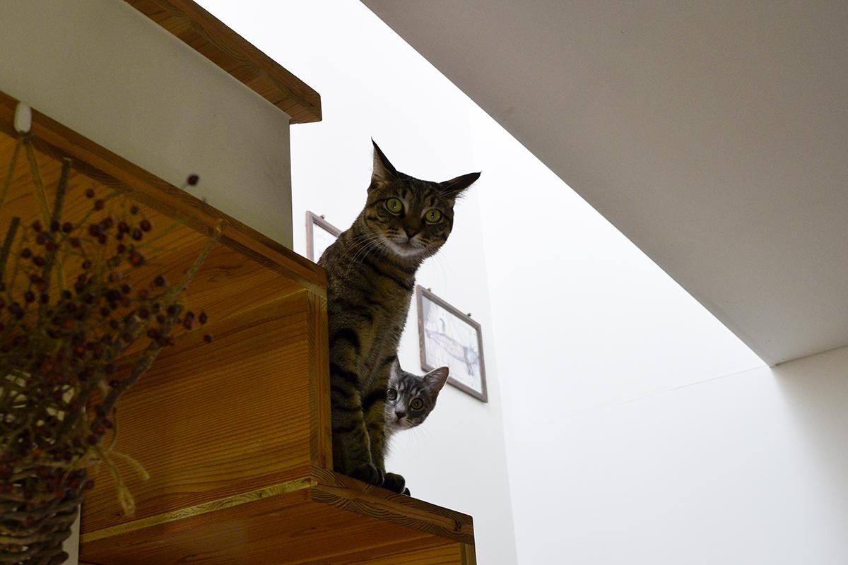 外を眺めるキジトラ猫の虎ノ介