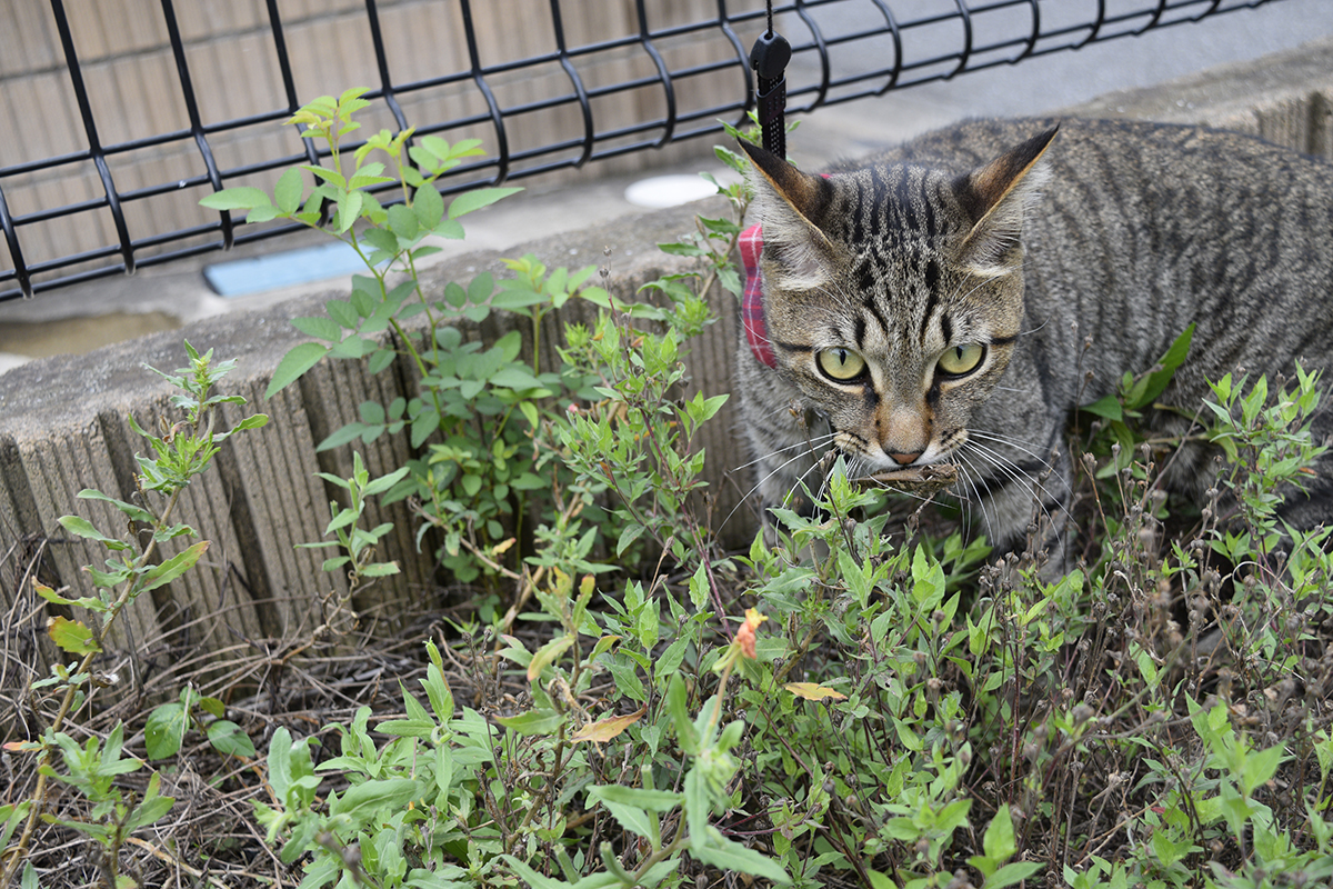 バッタを捕まえたキジトラ猫の虎ノ介