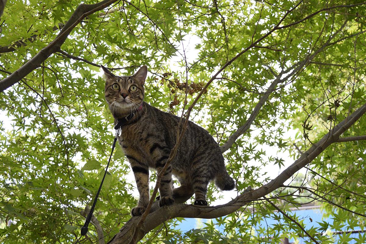 セミを追いかけて木に登ったけれど逃げられたキジトラ猫の虎ノ介