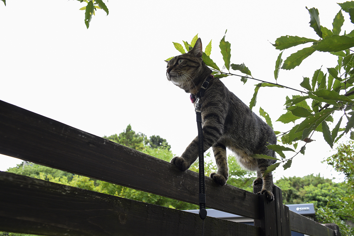 フェンスの上を歩いて蝉を探す虎ノ介