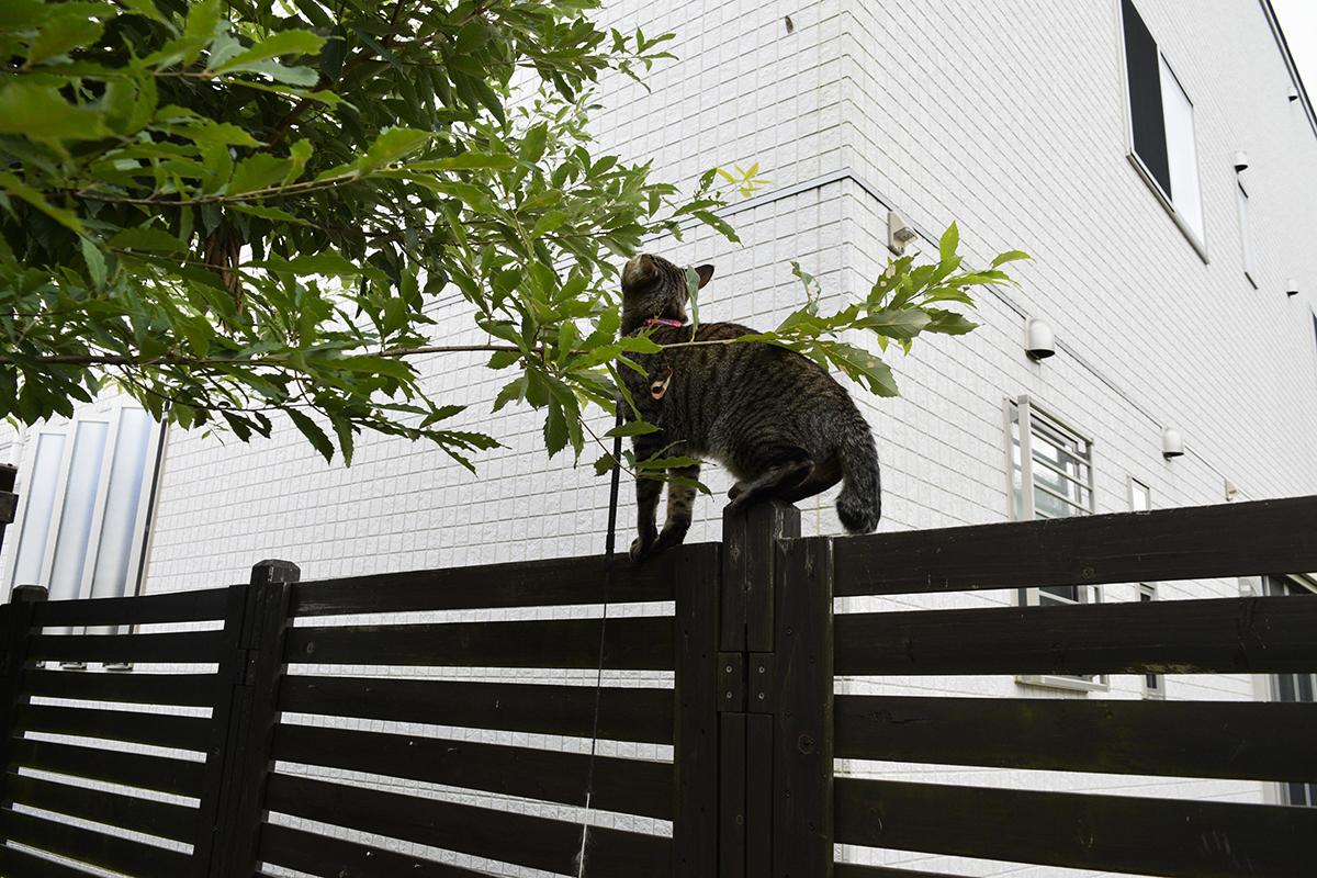 セミを見つめるキジトラ猫の虎ノ介