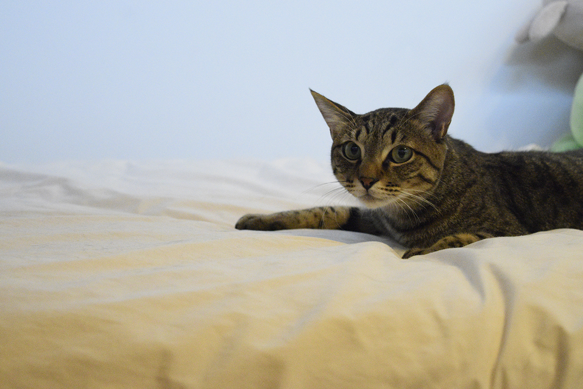 お家でくつろぐキジトラ猫の虎ノ介