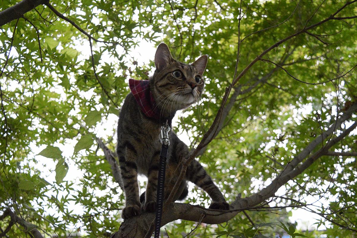 木に登ってセミを探すキジトラ猫の虎ノ介
