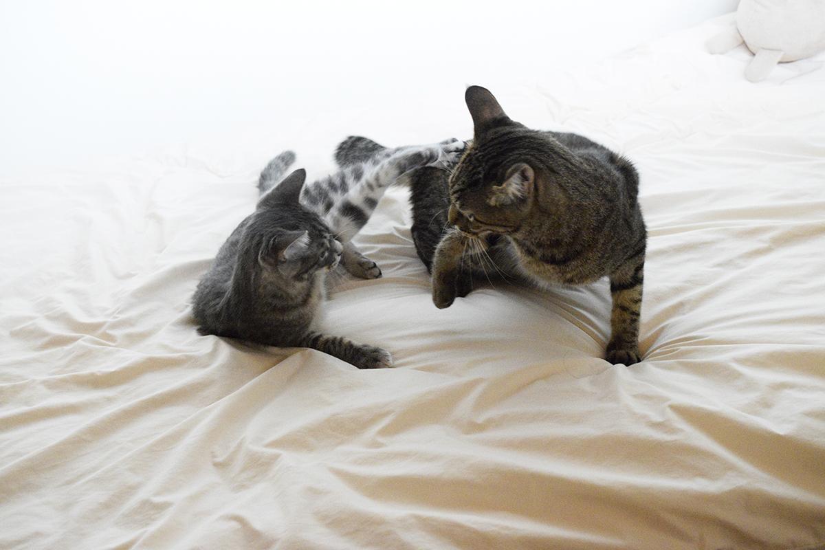 キジトラ猫の虎ノ介にちょっかいをかけるサバトラ猫の春太