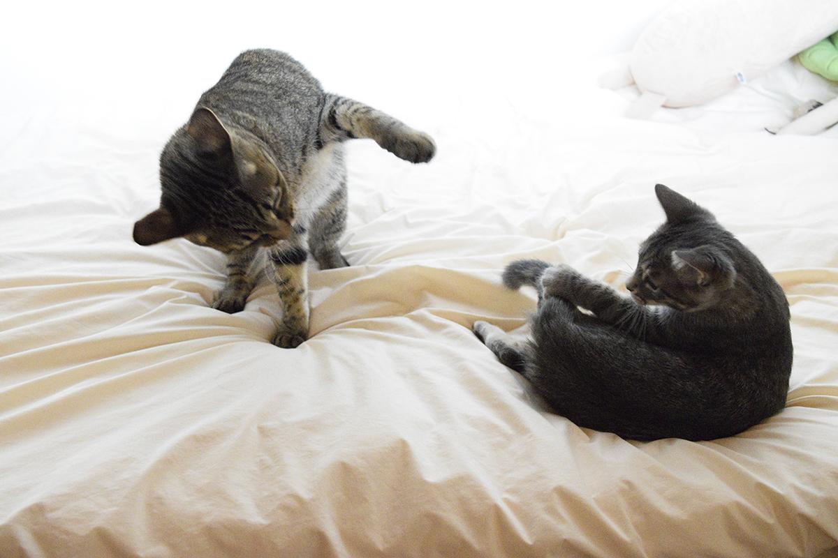 張り合おうとするサバトラ猫の春太