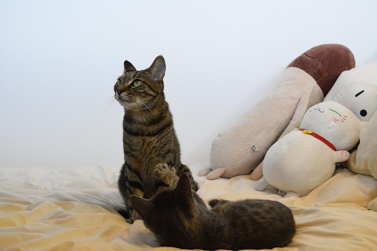 窓の外を見つめるキジトラ猫の虎ノ介
