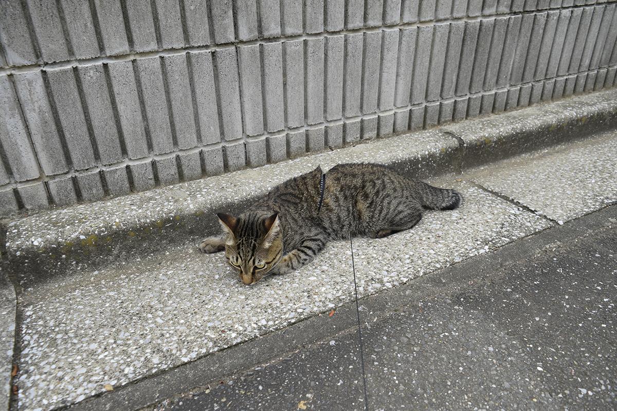 リードに絡まるキジトラ猫の虎ノ介