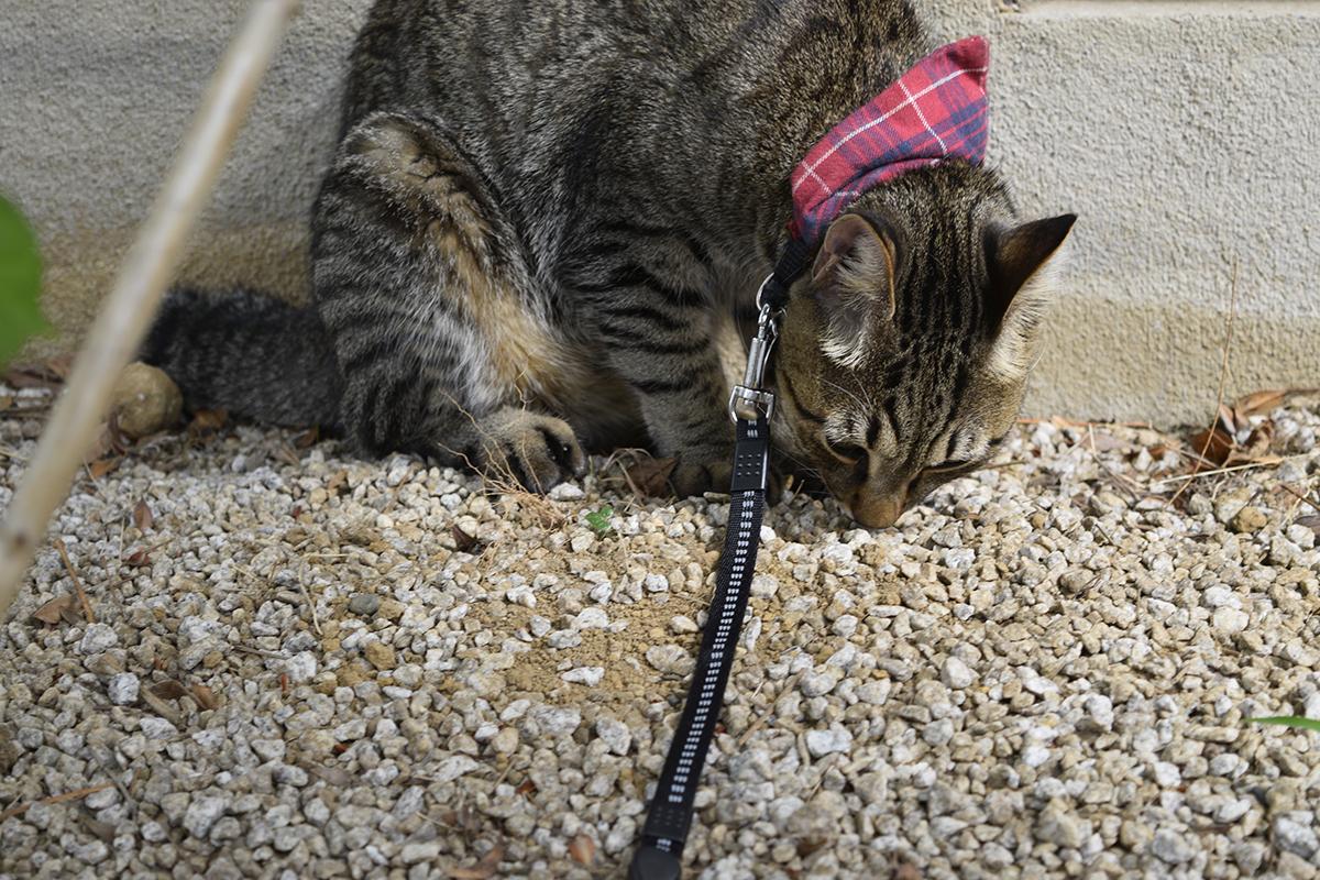 別荘チェックをするキジトラ猫の虎ノ介