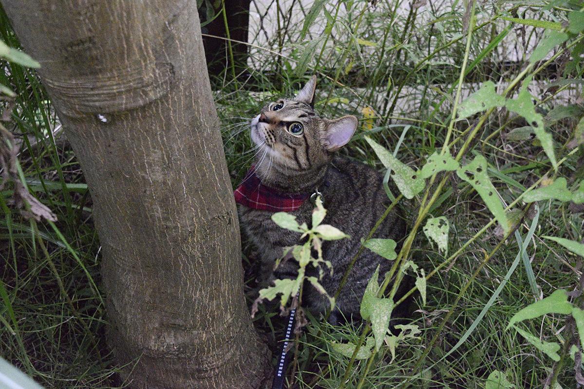セミを見つけたキジトラ猫の虎ノ介